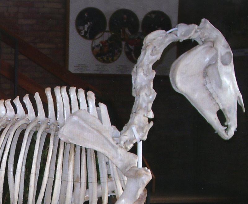 El caballo es un ser desconocido: fundamentos anatómicos