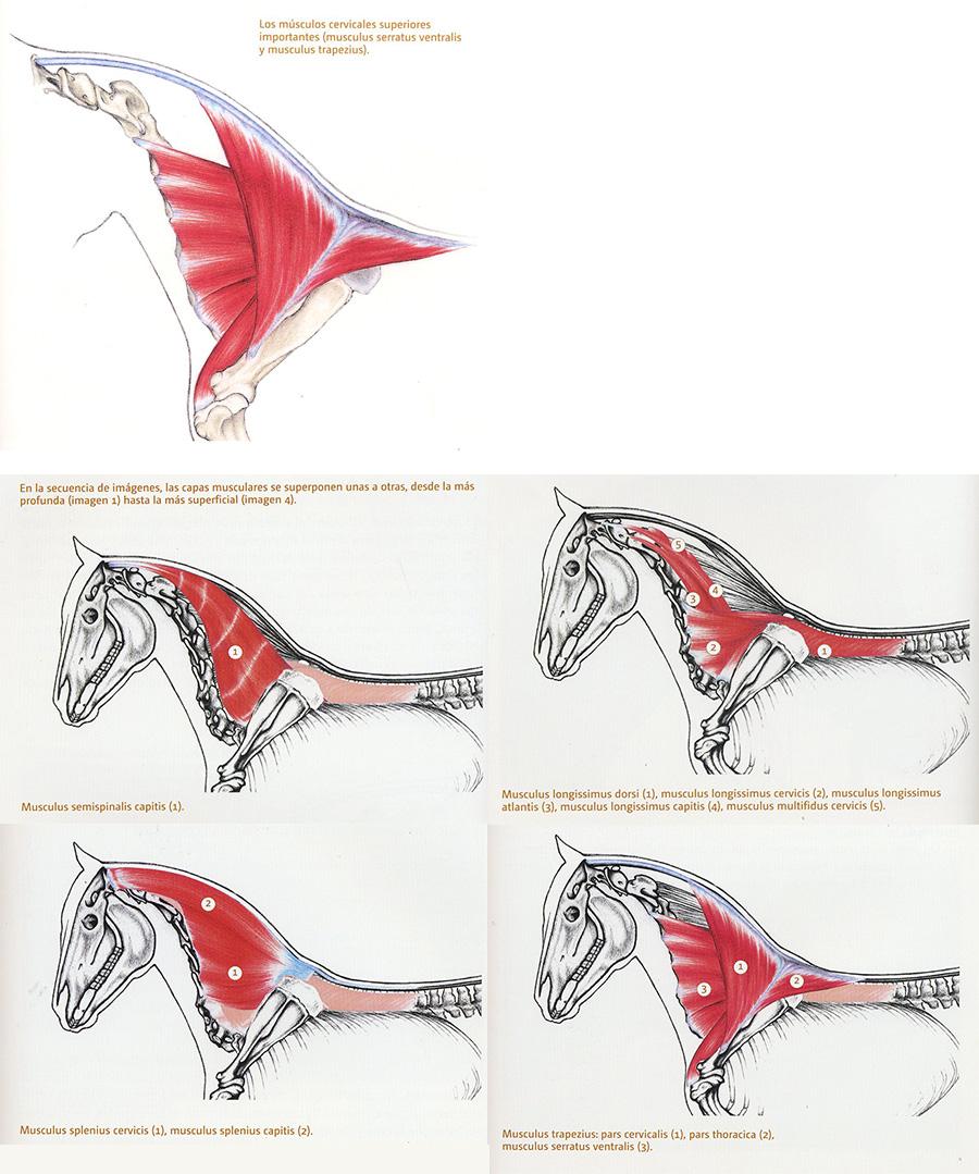 Musculatura caballo