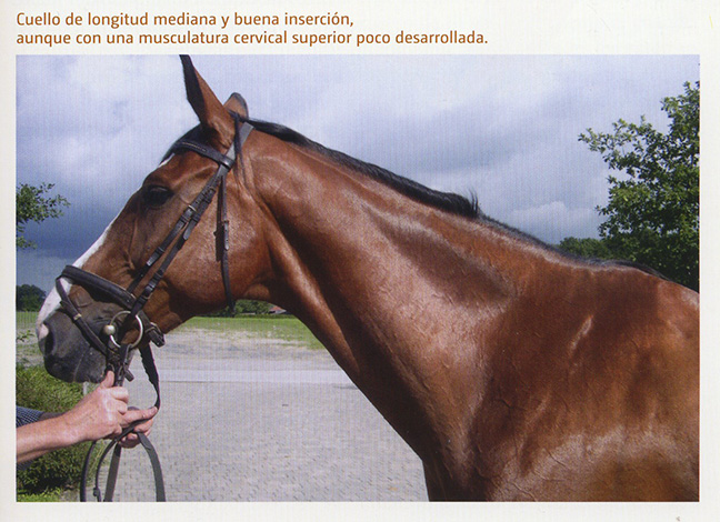 Cuello caballo