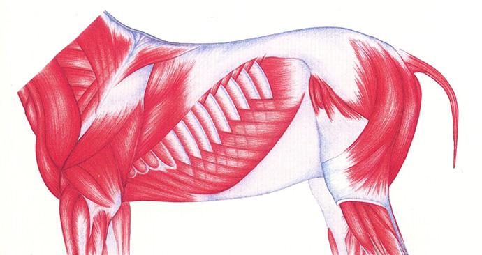 Musculatura del caballo