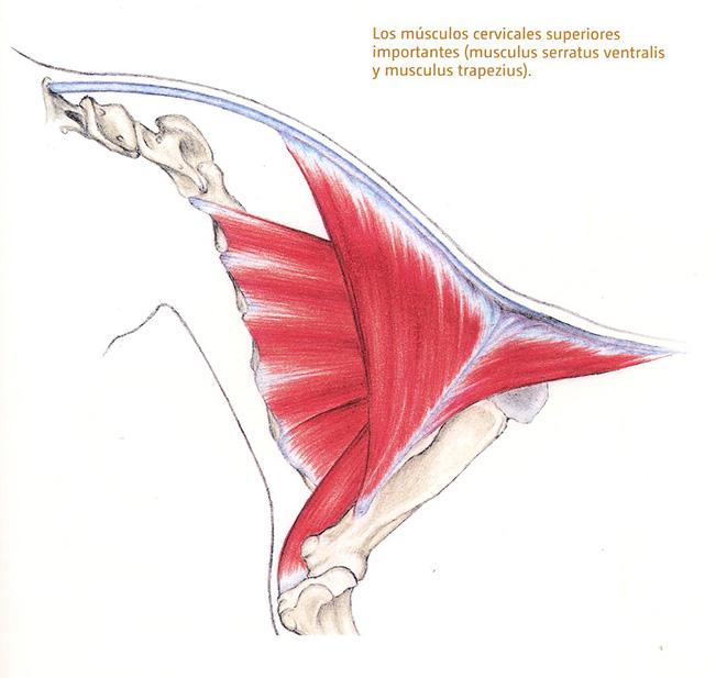 Músculos cervicales caballo