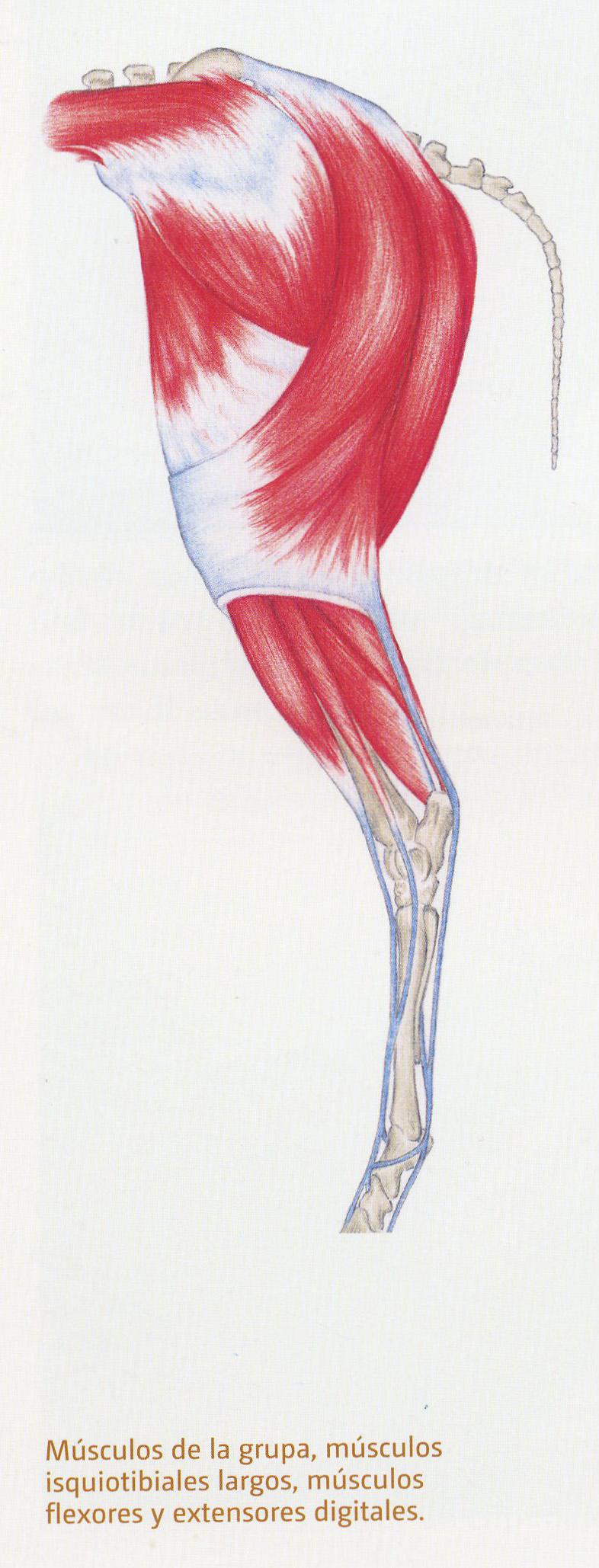 Músculos de la grupa